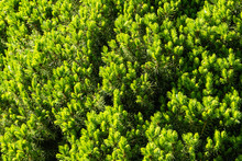 Texture Of Young Bright Green Shoots Of Canadian Spruce Picea Glauca Conica. Selective Focus. Close-up. Nature Concept For Design. Place For Your Text.