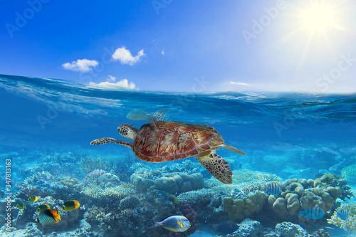 Canvastavla Green turtle underwater in the Caribbean Sea