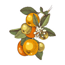 Hand Drawn Blooming Tangerine - Mandarin - Branch With Ripe Fruits