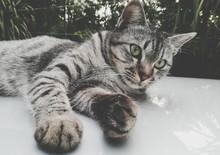 Cat Lying On Car Roof