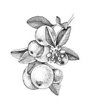 Hand Drawn Blooming Tangerine - Mandarin - Branch With Ripe Fruits