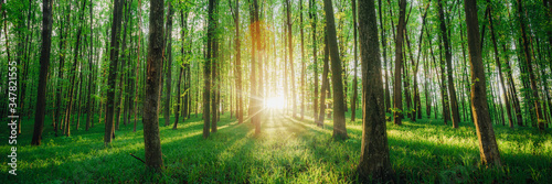 a spring forest trees. nature green wood sunlight backgrounds. #347821555