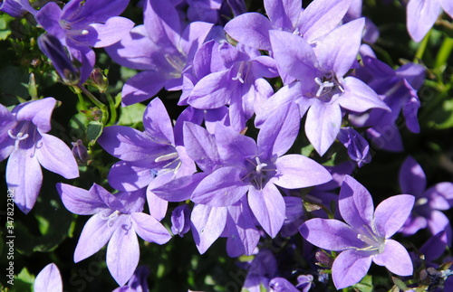 Close up of deep purple flowers of the wall or Dalmatian or Adria bellflower (Ca Canvas Print