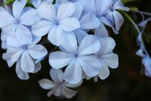Flores Azules Llamadas Plumbag...