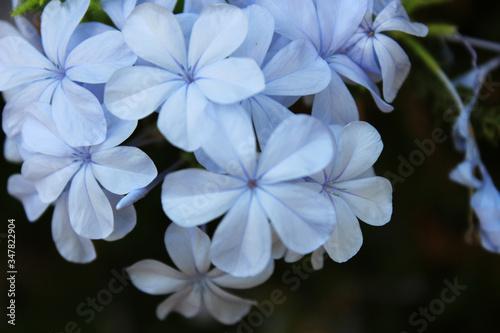 Flores azules llamadas Plumbago auriculata, jazmín azul, malacara, Plumbago Az Canvas Print
