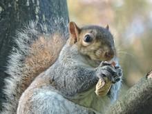 Portrait Of Squirrel Eating Pe...