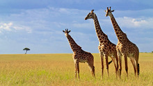 Giraffe Standing On Field Against Sky