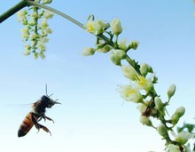 Bee Flying Towards Flowers Against Clear Sky