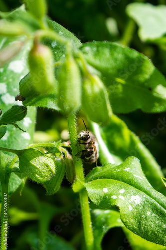 An ashy mining bee Andrena cineraria resting on the stem of a lungwort  pulmonar Canvas Print