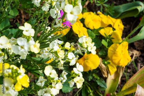 An ashy mining bee Andrena cineraria feeding from flowers in a mixed flower bed Wallpaper Mural