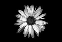 Close-up Of Fresh Wet Daisy Against Black Background