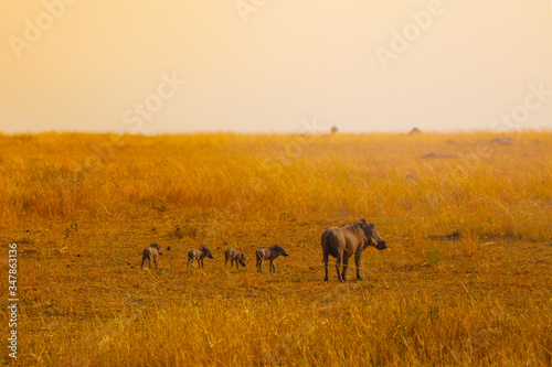 Fotomural Family group of warthogs pigs standing together in Kenya savanna, Africa