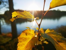 Close-up Of Yellow Maple Leaves Against Bright Sun