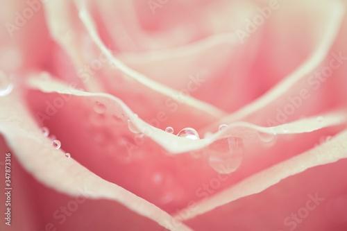 Close-up Of Wet Rose Fotobehang