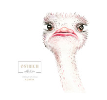 Africa Watercolor Savanna Ostrich Bird Funny, Animal Illustration. African Safari Wild Cute Exotic Animals Face Portrait Character. Isolated On White Poster Design