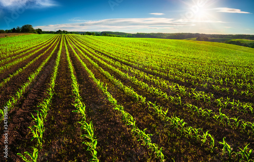 Fotografija Agriculture shot: rows of young corn plants growing on a vast field with dark fe