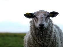 Close-up Of Sheep On Grassy Fi...
