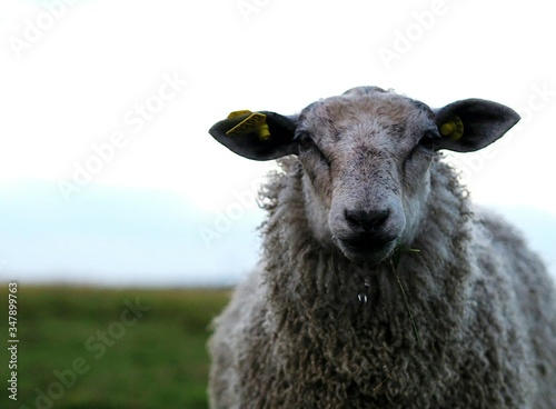 Fotografija Close-up Of Sheep On Grassy Field