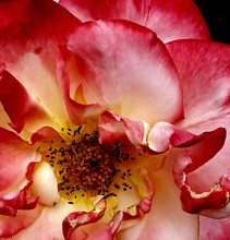 Full Frame Shot Of Pink Wild Rose