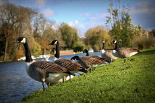 Canada Geese Standing On Field By Lake