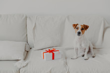 Jack Russell Terrier Dog Sits ...