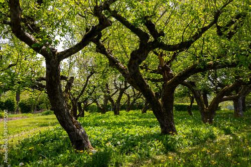 Obraz na plátně Streuobstwiese Obstbäume Apfel Kirsche alte Sorten Sauerland Meschede Deutschlan