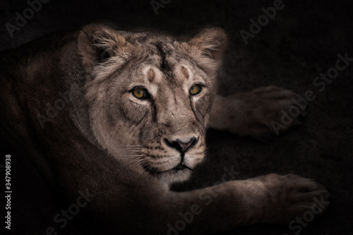 Fototapety, obrazy:  confident gaze half-face of a beautiful and confident lioness, night portrait in the dark..