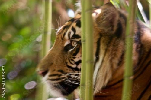 Fotografie, Tablou Close Up Of A Tiger