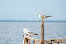 Three Gulls Sit On The Pier And Watch The Water One Of Them Sits Above The Others