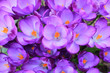 canvas print picture - Close-up Of Purple Flowers Blooming Outdoors
