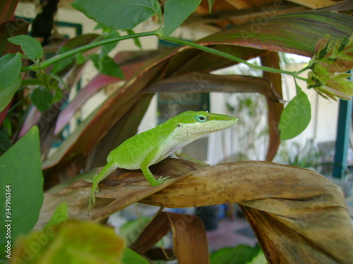 Anole Lizard On Plant Canvas Print