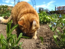 Close-up Of Ginger Cat Digging...