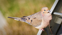 Mourning Dove Perching On Metal