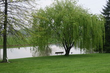 Bench Under A Weeping Willow Tree (Next To Lake, With Bird Flying And Angel Statue)