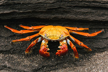 Sally Lightfoot Crab Hiding In...