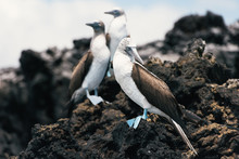 A Colony Group Of Blue-footed ...