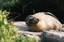 Playful Galapagos Sea Lion Che...