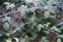 Tiger Spider On Its Spider Web In The Middle Of Nature Waiting
