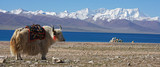 white yak in front of lake Namtso in Tibet