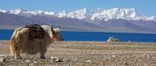 White Yak In Front Of Lake Nam...