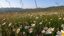 Walking Through Summer Meadow,...