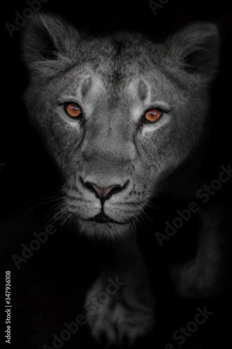 glance of the attentive luminous eyes of a predator on a bleached black-white fa Canvas Print