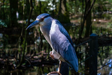 Close-up Of Black-crowned Night Heron In Forest