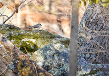 Tufted Titmouse On Rock In Woods