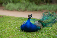 Close-up Of Peacock With Mouth Open Resting On Grassy Field