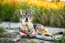 Adorable Alert Wolfdog With Le...