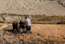 Nepalese Man Plows His Field With Bulls. Kagbeni Village In Lower Mustang. Nepal