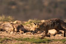 Lovely Fox In The Field