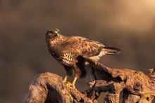 Common Buzzard Sitting On Roug...
