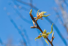 Buds Bloom In Spring On A Pear...